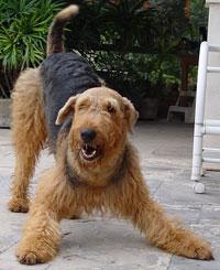 http://dogs-breed.net/dogs/img/erdelterer3.jpg