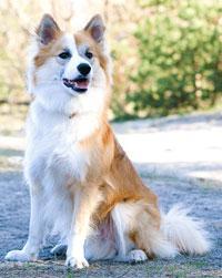 фото исландская собака
